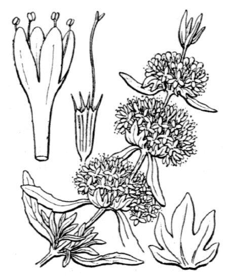 Mentha cervina L.
