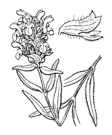 Prunella hyssopifolia L.