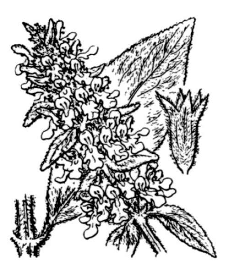 Stachys byzantina K.Koch