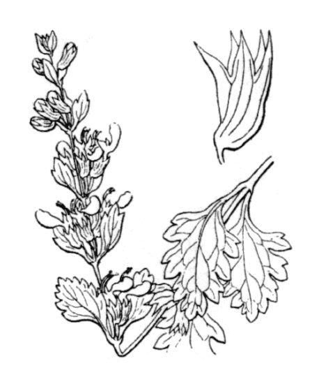 Teucrium lucidum L.