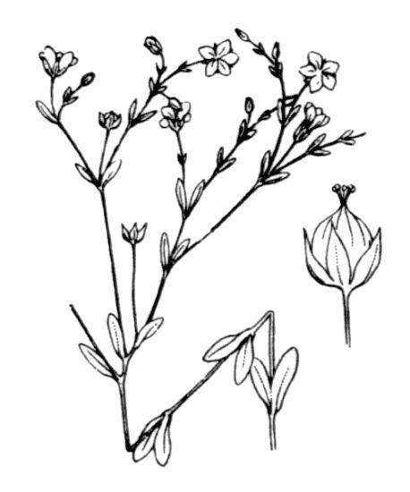 Linum catharticum L. subsp. catharticum