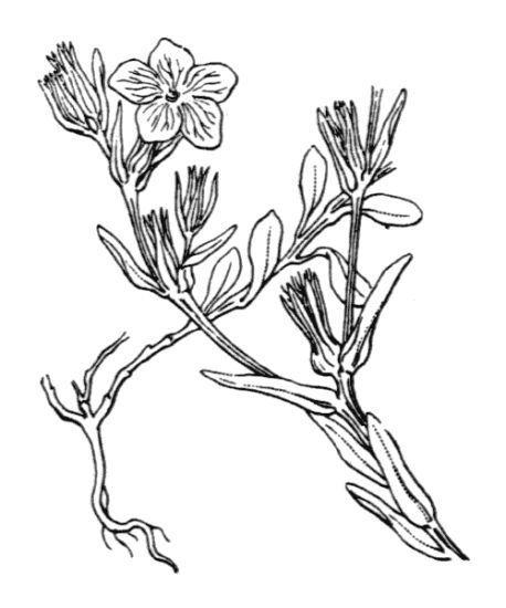 Linum nodiflorum L.