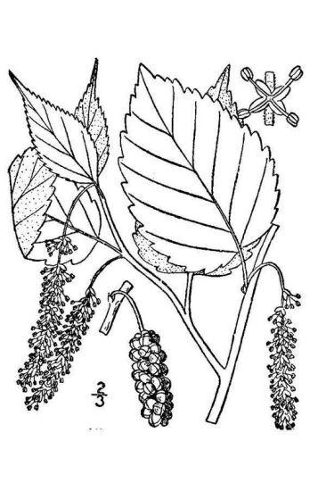 Morus rubra L.