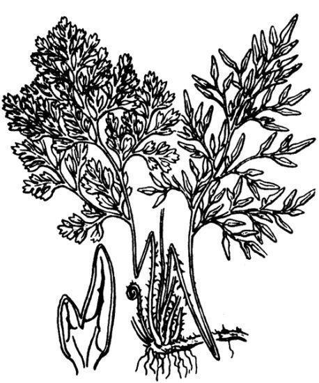 Cryptogramma crispa (L.) R.Br. ex Hook.
