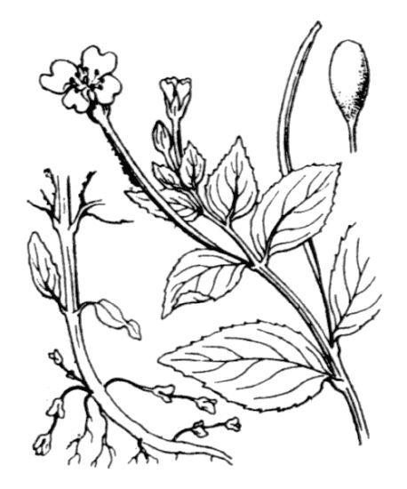 Epilobium alsinifolium Vill.