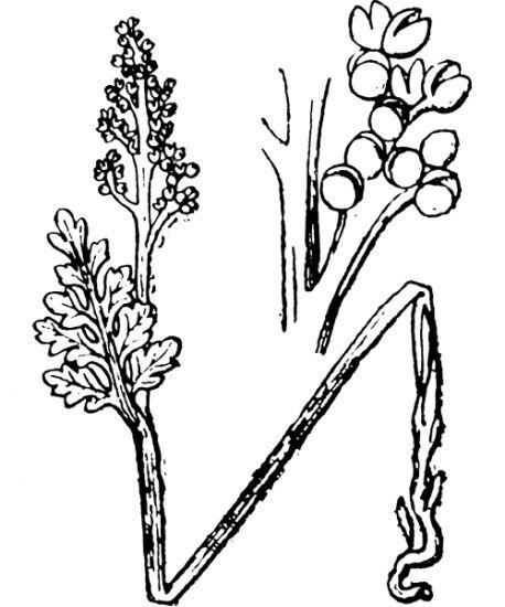 Botrychium matricariifolium (A.Braun ex Döll) W.D.J.Koch
