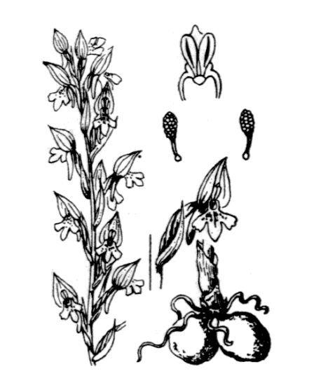Anacamptis coriophora (L.) R.M.Bateman, Pridgeon & M.W.Chase