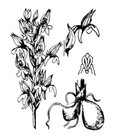Orchis coriophora L. subsp. fragrans