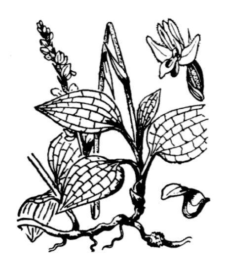 Goodyera repens (L.) R.Br.