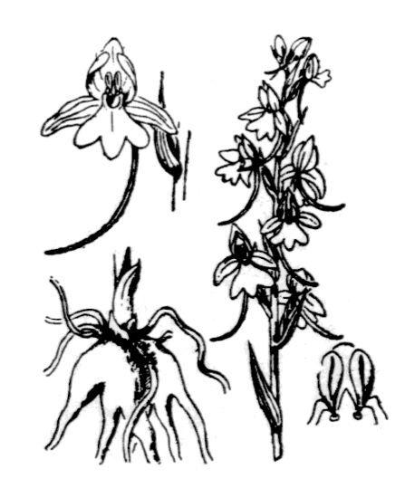 Gymnadenia conopsea (L.) R.Br.