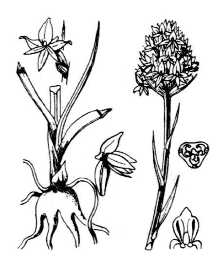 Nigritella nigra (L.) Rchb. subsp. austriaca Teppner & E.Klein