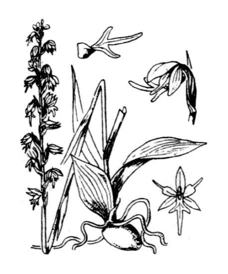 Herminium monorchis (L.) R.Br.