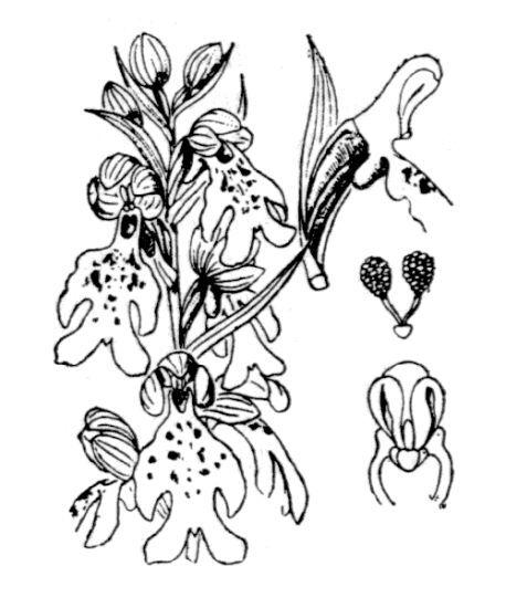 Barlia robertiana (Loisel.) Greuter
