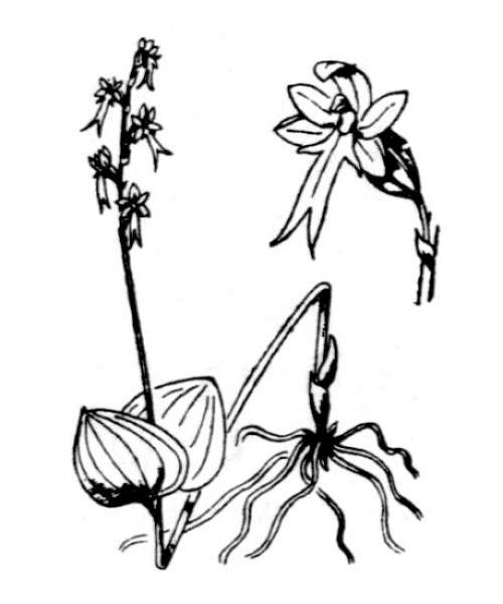 Neottia cordata (L.) Rich.
