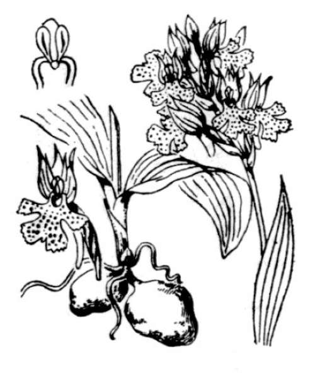 Neotinea tridentata (Scop.) R.M.Bateman, Pridgeon & M.W.Chase