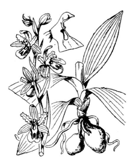 Ophrys sphegodes Mill. subsp. sphegodes