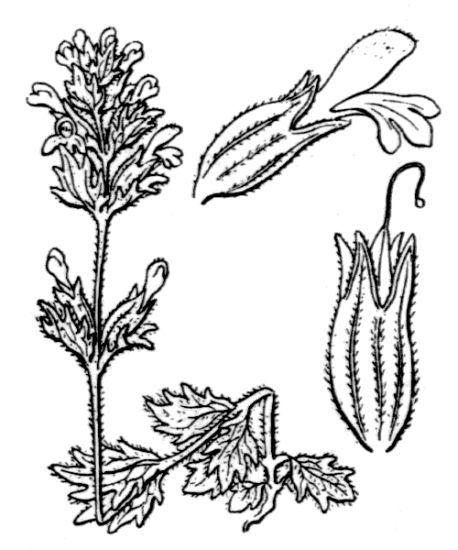 Parentucellia latifolia (L.) Caruel