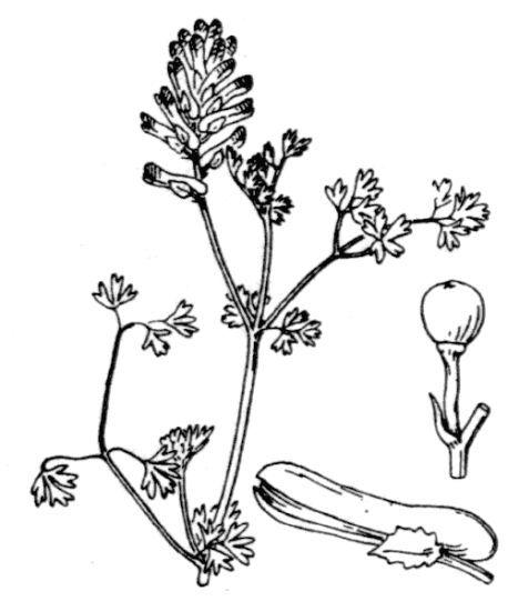 Fumaria muralis W.D.J.Koch subsp. muralis