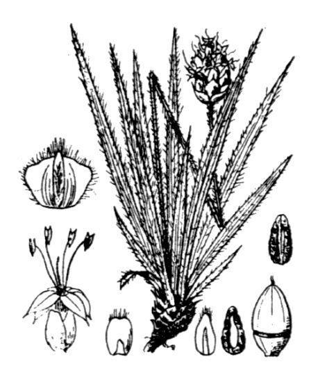 Plantago atrata Hoppe subsp. fuscescens (Jord.) Pilg.