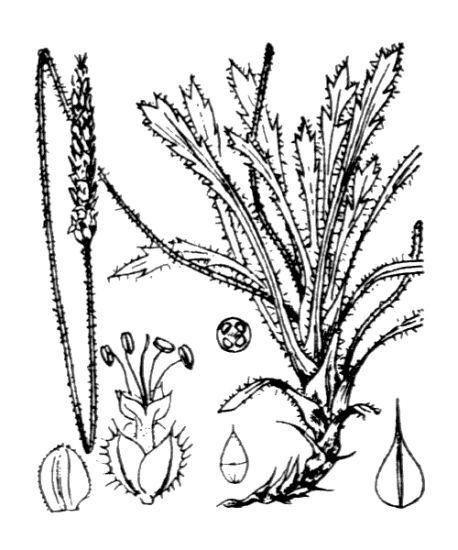 Plantago macrorhiza Poir.