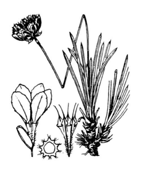Armeria leucocephala Salzm. subsp. leucocephala