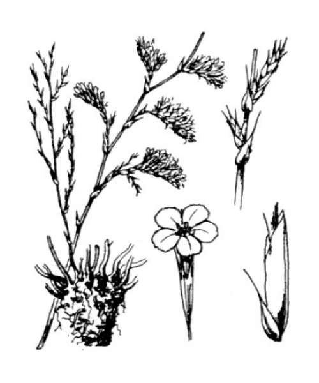 Myriolimon ferulaceum (L.) Lledó, Erben & M.B.Crespo