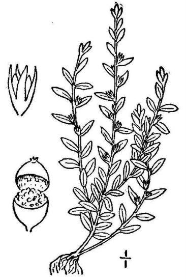 Lysimachia minima (L.) U.Manns & Anderb.