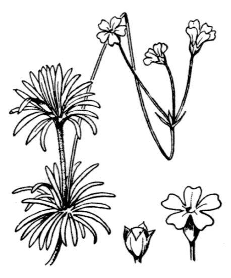 Androsace lactea L.