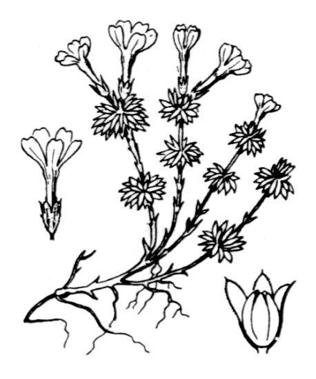 Androsace vitaliana (L.) Lapeyr. subsp. vitaliana