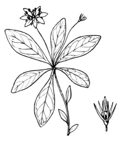 Lysimachia europaea (L.) U.Manns & Anderb.