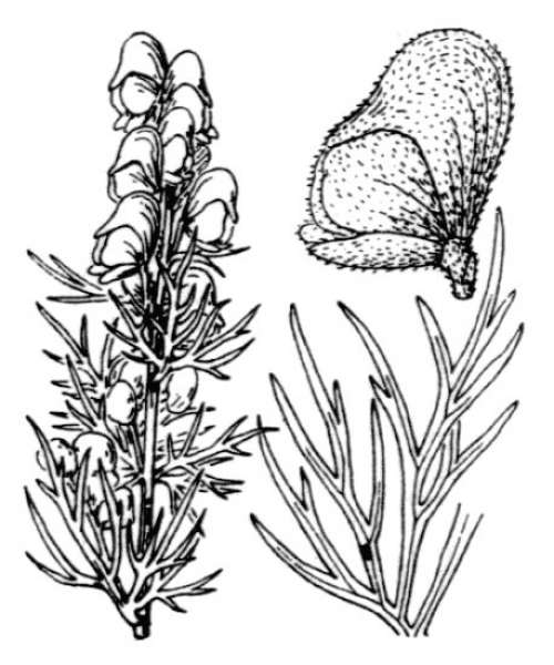 Aconitum anthora L.
