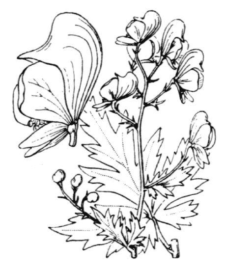 Aconitum degenii Gáyer subsp. paniculatum (Arcang.) Mucher