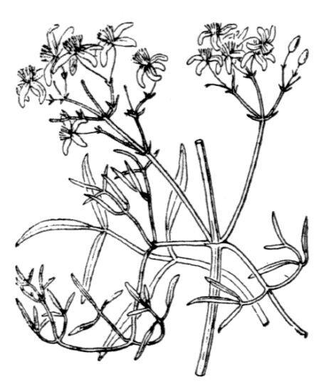 Clematis flammula L.
