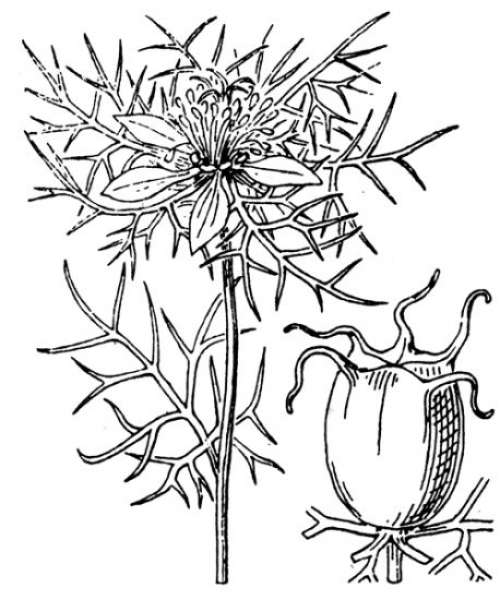 Nigella damascena L.