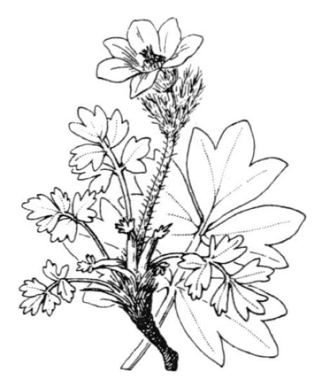 Pulsatilla vernalis (L.) Mill.