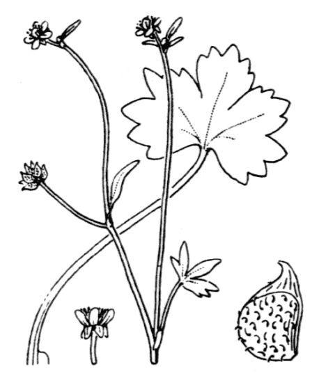 Ranunculus parviflorus L.