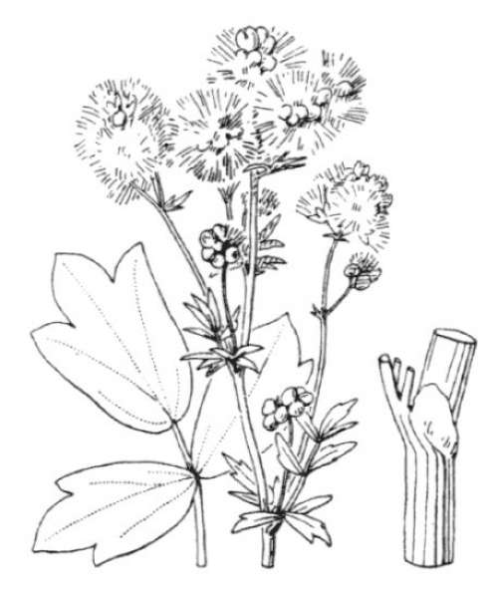 Thalictrum flavum L.