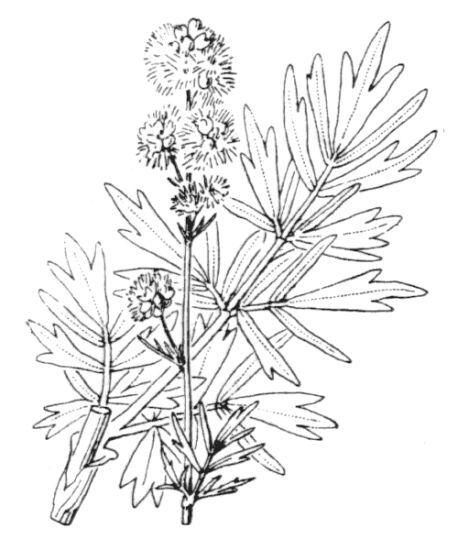 Thalictrum simplex L. subsp. simplex