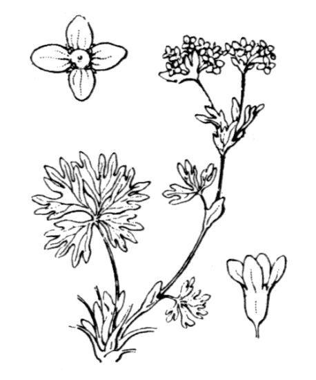 Alchemilla pentaphyllea L.
