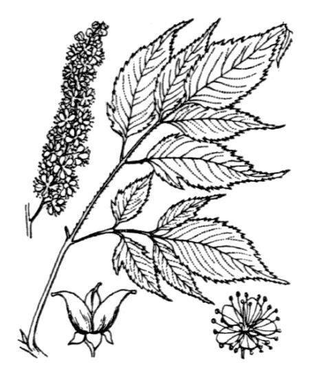 Aruncus dioicus (Walter) Fernald