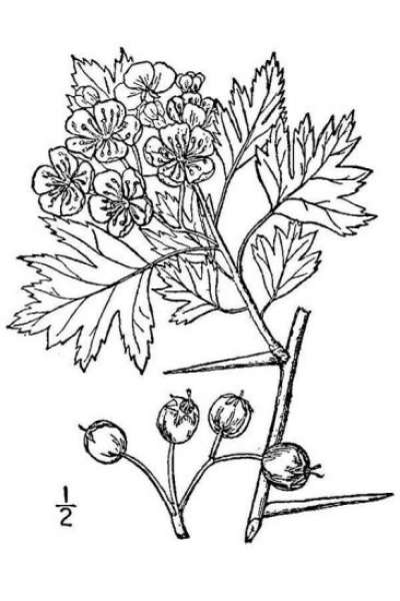 Crataegus monogyna Jacq.
