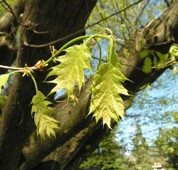 Quercus coccinea Münchh. 'Splendens'
