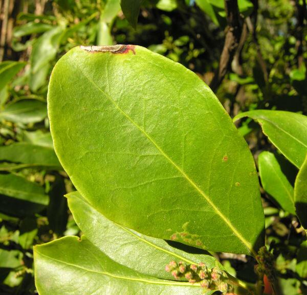 Kalmia latifolia L.