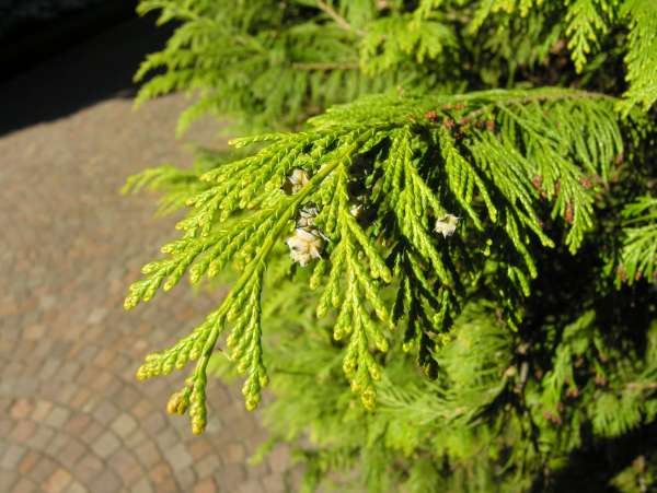 Chamaecyparis lawsoniana (Murray) Parl. 'Lutea'