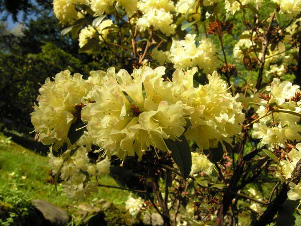 Rhododendron auritum Tagg