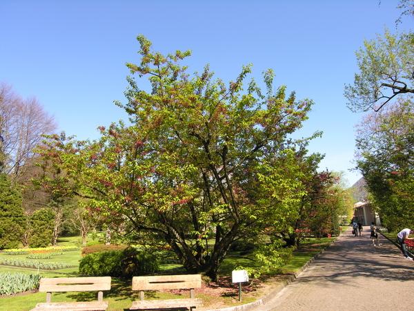 Prunus campanulata Maxim.