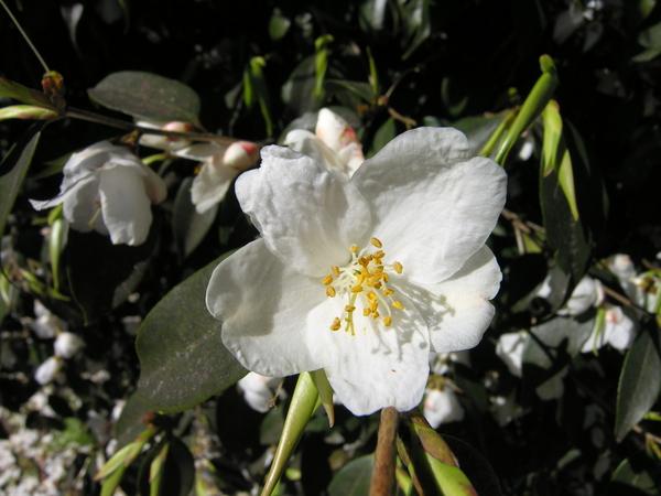 Camellia cuspidata (Kochs) C.H. Wright ex H.J. Veitch