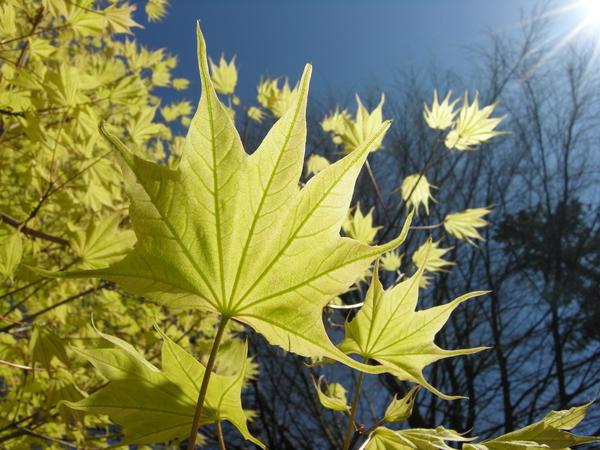 Acer pictum Thunb. ex Murray 'Usugumo'