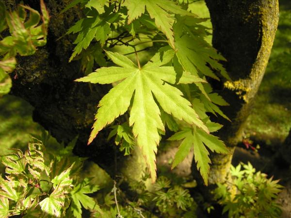 Acer palmatum Thunb. ex Murray 'Roseomarginatum'