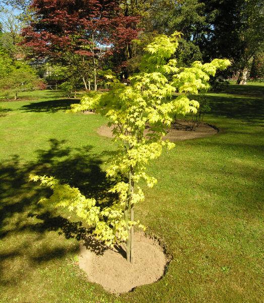 Acer palmatum Thunb. ex Murray 'Orange Dream'